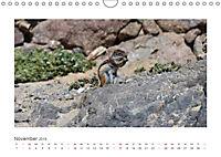 Atlashörnchen. Possierliche Nager auf Fuerteventura (Wandkalender 2019 DIN A4 quer) - Produktdetailbild 11