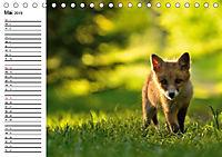 Auf den Spuren der Stadtfüchse (Tischkalender 2019 DIN A5 quer) - Produktdetailbild 5