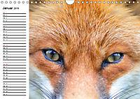 Auf den Spuren der Stadtfüchse (Wandkalender 2019 DIN A4 quer) - Produktdetailbild 1