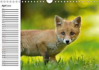 Auf den Spuren der Stadtfüchse (Wandkalender 2019 DIN A4 quer) - Produktdetailbild 4