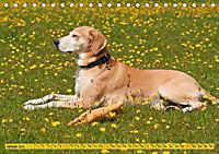Azawakh-Ridgeback Hund in gelb (Tischkalender 2019 DIN A5 quer) - Produktdetailbild 1