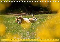 Azawakh-Ridgeback Hund in gelb (Tischkalender 2019 DIN A5 quer) - Produktdetailbild 5