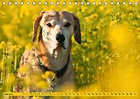 Azawakh-Ridgeback Hund in gelb (Tischkalender 2019 DIN A5 quer) - Produktdetailbild 6