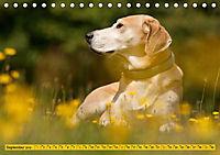 Azawakh-Ridgeback Hund in gelb (Tischkalender 2019 DIN A5 quer) - Produktdetailbild 9