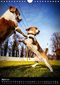 Beagles in action (Wall Calendar 2019 DIN A4 Portrait) - Produktdetailbild 4