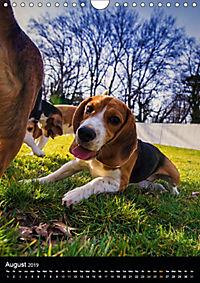 Beagles in action (Wall Calendar 2019 DIN A4 Portrait) - Produktdetailbild 8