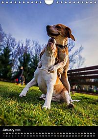 Beagles in action (Wall Calendar 2019 DIN A4 Portrait) - Produktdetailbild 1