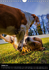 Beagles in action (Wall Calendar 2019 DIN A4 Portrait) - Produktdetailbild 6