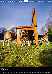 Beagles in action (Wall Calendar 2019 DIN A4 Portrait) - Produktdetailbild 5