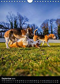 Beagles in action (Wall Calendar 2019 DIN A4 Portrait) - Produktdetailbild 9