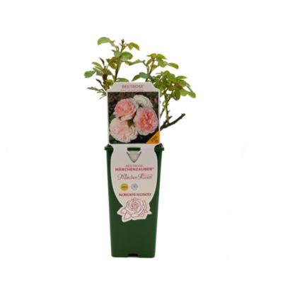Beetrose Kordes Märchenzauber, creme-rosa blühend, 1 Rosenstock im Plant-o-fix Topf