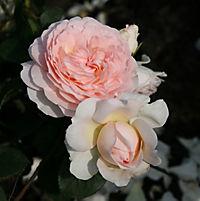 "Beetrose Kordes ""Märchenzauber"", creme-rosa blühend, 1 Rosenstock im Plant-o-fix Topf - Produktdetailbild 1"