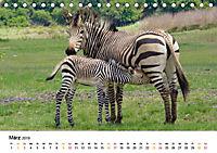 BERGZEBRAS Impressionen aus Südafrika (Tischkalender 2019 DIN A5 quer) - Produktdetailbild 3