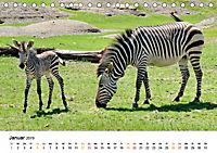 BERGZEBRAS Impressionen aus Südafrika (Tischkalender 2019 DIN A5 quer) - Produktdetailbild 1
