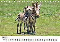 BERGZEBRAS Impressionen aus Südafrika (Tischkalender 2019 DIN A5 quer) - Produktdetailbild 5