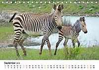 BERGZEBRAS Impressionen aus Südafrika (Tischkalender 2019 DIN A5 quer) - Produktdetailbild 9