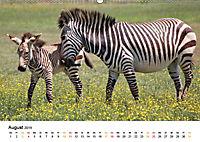 BERGZEBRAS Impressionen aus Südafrika (Wandkalender 2019 DIN A2 quer) - Produktdetailbild 8