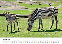 BERGZEBRAS Impressionen aus Südafrika (Wandkalender 2019 DIN A2 quer) - Produktdetailbild 1