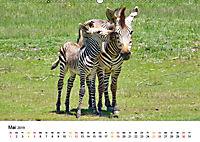 BERGZEBRAS Impressionen aus Südafrika (Wandkalender 2019 DIN A2 quer) - Produktdetailbild 5