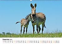 BERGZEBRAS Impressionen aus Südafrika (Wandkalender 2019 DIN A2 quer) - Produktdetailbild 12