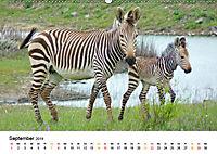 BERGZEBRAS Impressionen aus Südafrika (Wandkalender 2019 DIN A2 quer) - Produktdetailbild 9