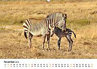 BERGZEBRAS Impressionen aus Südafrika (Wandkalender 2019 DIN A2 quer) - Produktdetailbild 11