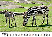 BERGZEBRAS Impressionen aus Südafrika (Wandkalender 2019 DIN A3 quer) - Produktdetailbild 1