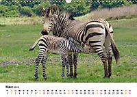BERGZEBRAS Impressionen aus Südafrika (Wandkalender 2019 DIN A3 quer) - Produktdetailbild 3