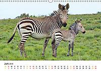 BERGZEBRAS Impressionen aus Südafrika (Wandkalender 2019 DIN A3 quer) - Produktdetailbild 6