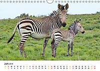 BERGZEBRAS Impressionen aus Südafrika (Wandkalender 2019 DIN A4 quer) - Produktdetailbild 6