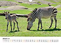 BERGZEBRAS Impressionen aus Südafrika (Wandkalender 2019 DIN A4 quer) - Produktdetailbild 1