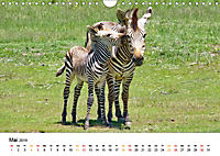 BERGZEBRAS Impressionen aus Südafrika (Wandkalender 2019 DIN A4 quer) - Produktdetailbild 5