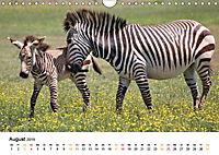 BERGZEBRAS Impressionen aus Südafrika (Wandkalender 2019 DIN A4 quer) - Produktdetailbild 8