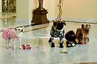 Beverly Hills Chihuahua - Produktdetailbild 3
