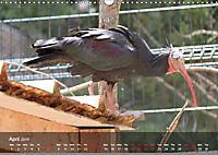 Birds found in Malta (Wall Calendar 2019 DIN A3 Landscape) - Produktdetailbild 4