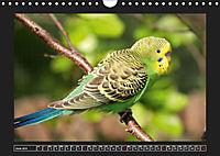 Budgie Calendar - UK Version (Wall Calendar 2019 DIN A4 Landscape) - Produktdetailbild 6
