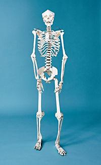 Build Your Own Human Skeleton - Life Size! - Produktdetailbild 2