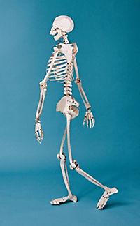 Build Your Own Human Skeleton - Life Size! - Produktdetailbild 3