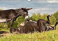 Bulgarische Großesel - Schwarze Schönheiten (Wandkalender 2019 DIN A3 quer) - Produktdetailbild 6