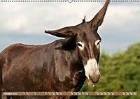 Bulgarische Grossesel - Schwarze Schönheiten (Wandkalender 2019 DIN A2 quer) - Produktdetailbild 10