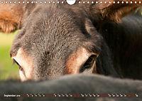 Bulgarische Großesel - Schwarze Schönheiten (Wandkalender 2019 DIN A4 quer) - Produktdetailbild 9