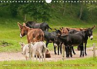Bulgarische Großesel - Schwarze Schönheiten (Wandkalender 2019 DIN A4 quer) - Produktdetailbild 8