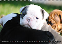 Bulldogs - Old English Bulldog Puppies (Wall Calendar 2019 DIN A3 Landscape) - Produktdetailbild 11