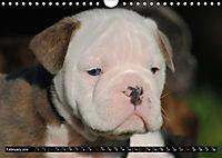 Bulldogs - Old English Bulldog Puppies (Wall Calendar 2019 DIN A4 Landscape) - Produktdetailbild 2
