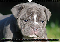 Bulldogs - Old English Bulldog Puppies (Wall Calendar 2019 DIN A4 Landscape) - Produktdetailbild 12
