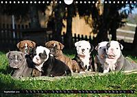 Bulldogs - Old English Bulldog Puppies (Wall Calendar 2019 DIN A4 Landscape) - Produktdetailbild 9