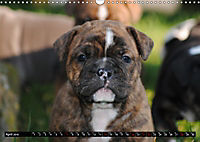 Bulldogs - Old English Bulldog Puppies (Wall Calendar 2019 DIN A3 Landscape) - Produktdetailbild 4