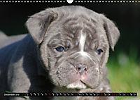 Bulldogs - Old English Bulldog Puppies (Wall Calendar 2019 DIN A3 Landscape) - Produktdetailbild 12