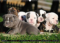 Bulldogs - Old English Bulldog Puppies (Wall Calendar 2019 DIN A3 Landscape) - Produktdetailbild 1