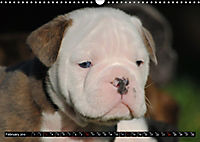Bulldogs - Old English Bulldog Puppies (Wall Calendar 2019 DIN A3 Landscape) - Produktdetailbild 2